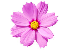 Cosmos Flower Isolated on White Stock Photography