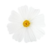 Cosmos flower isolated on white background. Garden Cosmos Royalty Free Stock Images