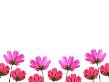 Cosmos flower isolated on white background space for text Stock Photos