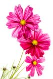 Pink Cosmos on white Stock Images