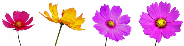 Cosmos flower isolation. Cosmos flowers are isolated on white background Stock Images