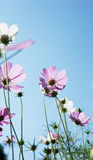 Cosmos flower in low angle shot Royalty Free Stock Image