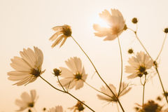 Cosmos flower Royalty Free Stock Photos