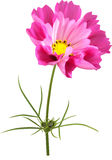 Cosmos flower mesh. Pink cosmos flower with funnel-shaped petals Royalty Free Stock Photos