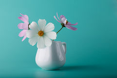 Cosmos flower milk jug on aqua color background Stock Photography