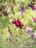 Cosmos flower in open park royalty free stock photos