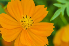 Cosmos Flower Orange Color Royalty Free Stock Images