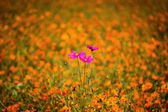 Cosmos flower among Orange Coreopsis Stock Images