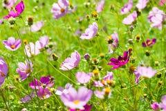 Cosmos flower stock photo