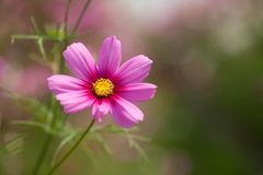 Cosmos flower. Pink Cosmos Flower in garden Stock Photos