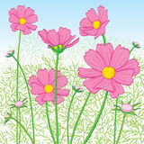 Cosmos Flower pink. Gardenn Royalty Free Stock Photography