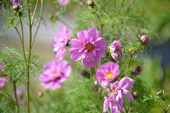 Cosmos Flower Stock Photos