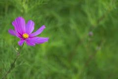 Cosmos Flower Royalty Free Stock Photo