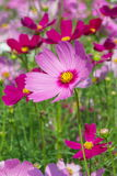 Cosmos Flower. Red and Pink Cosmos Flower in the garden Stock Image
