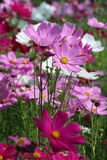 Cosmos Flower. Red, White and Pink Cosmos Flower in the garden Stock Photo