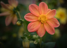 Cosmos flower. Royalty Free Stock Images