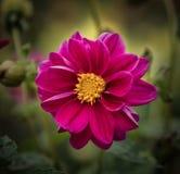 Cosmos flower. Stock Image