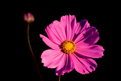 Cosmos flower with side lighting. Late afternoon with side lighting supplied by the setting sun Royalty Free Stock Image