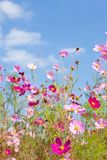 Cosmos flower and the sky Stock Images