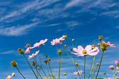 Cosmos flower and the sky Stock Photography
