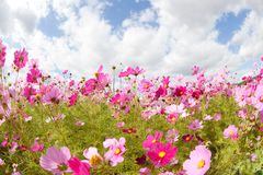 Cosmos flower and the sky Royalty Free Stock Photo