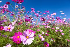 Cosmos flower and the sky Royalty Free Stock Photography