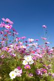 Cosmos flower and the sky Royalty Free Stock Images