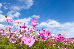 Cosmos flower and the sky Stock Photos