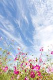 Cosmos flower and the sky Stock Photo