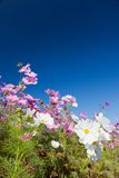 Cosmos flower and the sky royalty free stock photos