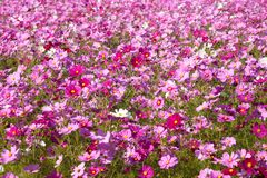 Cosmos flower and the sky Royalty Free Stock Image