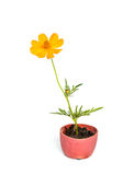Cosmos flower stalk in small pot on white Stock Image