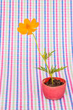 Cosmos flower stalk stick to soil in small flower pot on colorfu Stock Photo