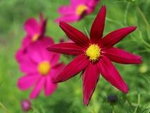Cosmos Flower. Star Shape Cosmos Flower in the garden Stock Photos