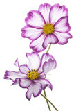 Cosmos flower Stock Photography