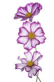 Cosmos flower Royalty Free Stock Photography