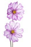 Cosmos flower Stock Image