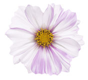 Cosmos flower Royalty Free Stock Photo