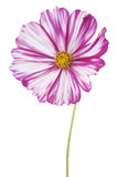 Cosmos flower Royalty Free Stock Images