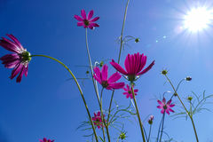 Cosmos flower with sun, flare, and blue sky Royalty Free Stock Image