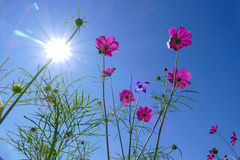 Cosmos flower with sun, flare, and blue sky Stock Photography