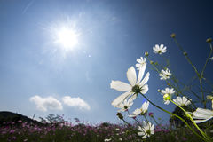 Cosmos flower and sun Royalty Free Stock Photos