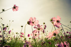 Cosmos Flower at sunset. Cosmos flower garden at sunset Stock Photography