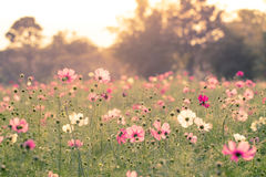 Cosmos Flower at sunset Royalty Free Stock Photography