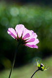 Cosmos flower with transparent stock photo
