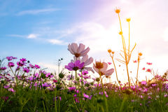 Cosmos flower under the sunset. Cosmos flower under the sunset in spring time Stock Image