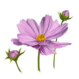 Cosmos flower  vector illustration    painted. Cosmos flower  vector illustration  hand drawn  painted watercolor Royalty Free Stock Photography