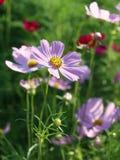 Cosmos Flower. Vertical Cosmos Flower in the garden Stock Image