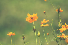 Cosmos flower with vintage filtered effect Stock Images