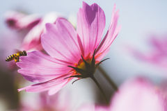 Cosmos flower vintage style. Cosmos flower and bee vintage style stock image